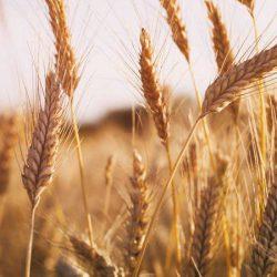 pšenica-a-jej-pestovanie-osivo