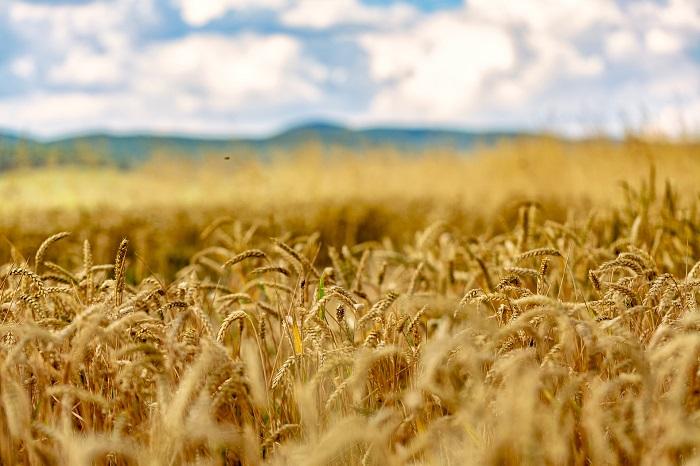 pšenica-a-pšeničné-polia-osivo